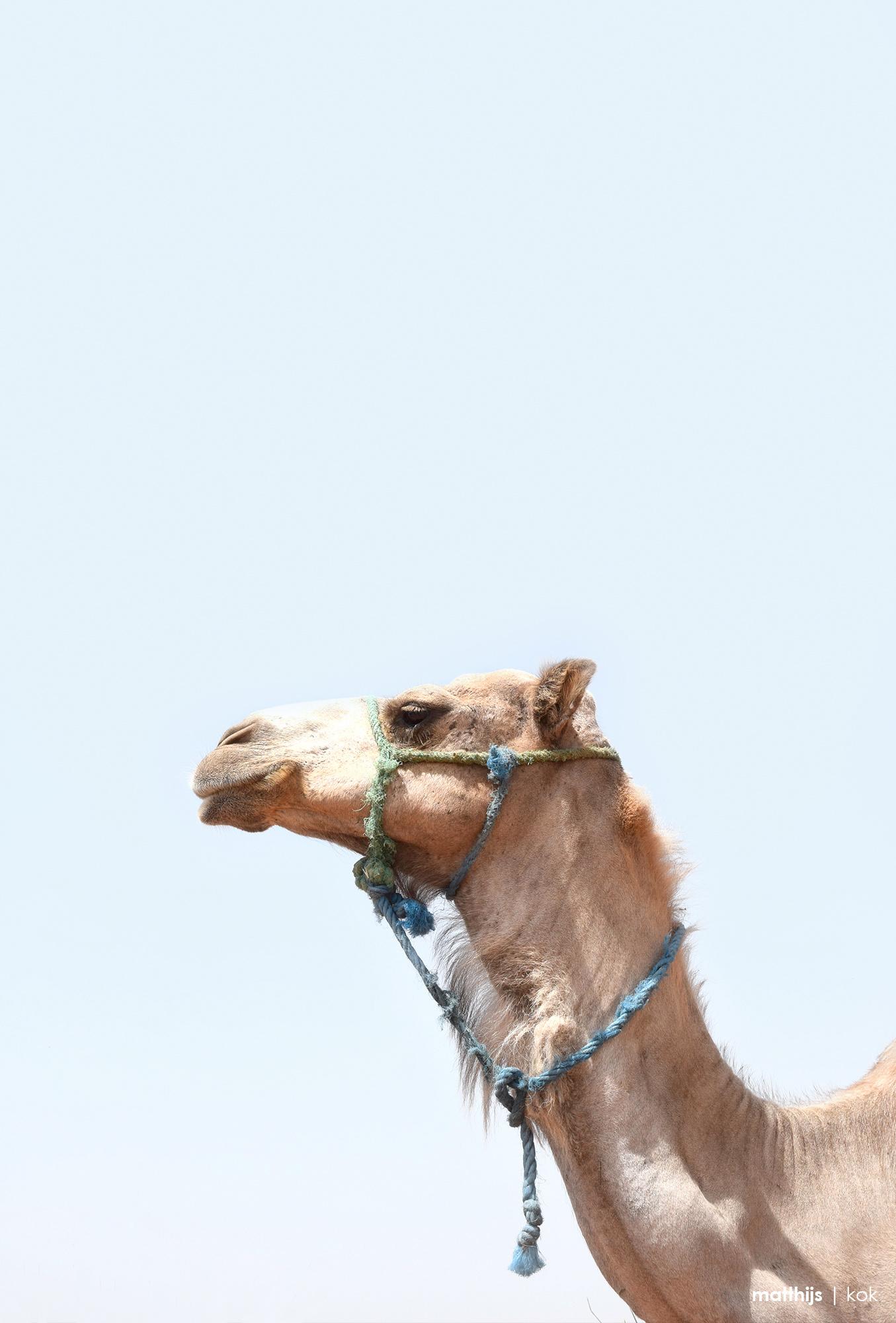 Camel, Marrakech | Photo by Matthijs Kok