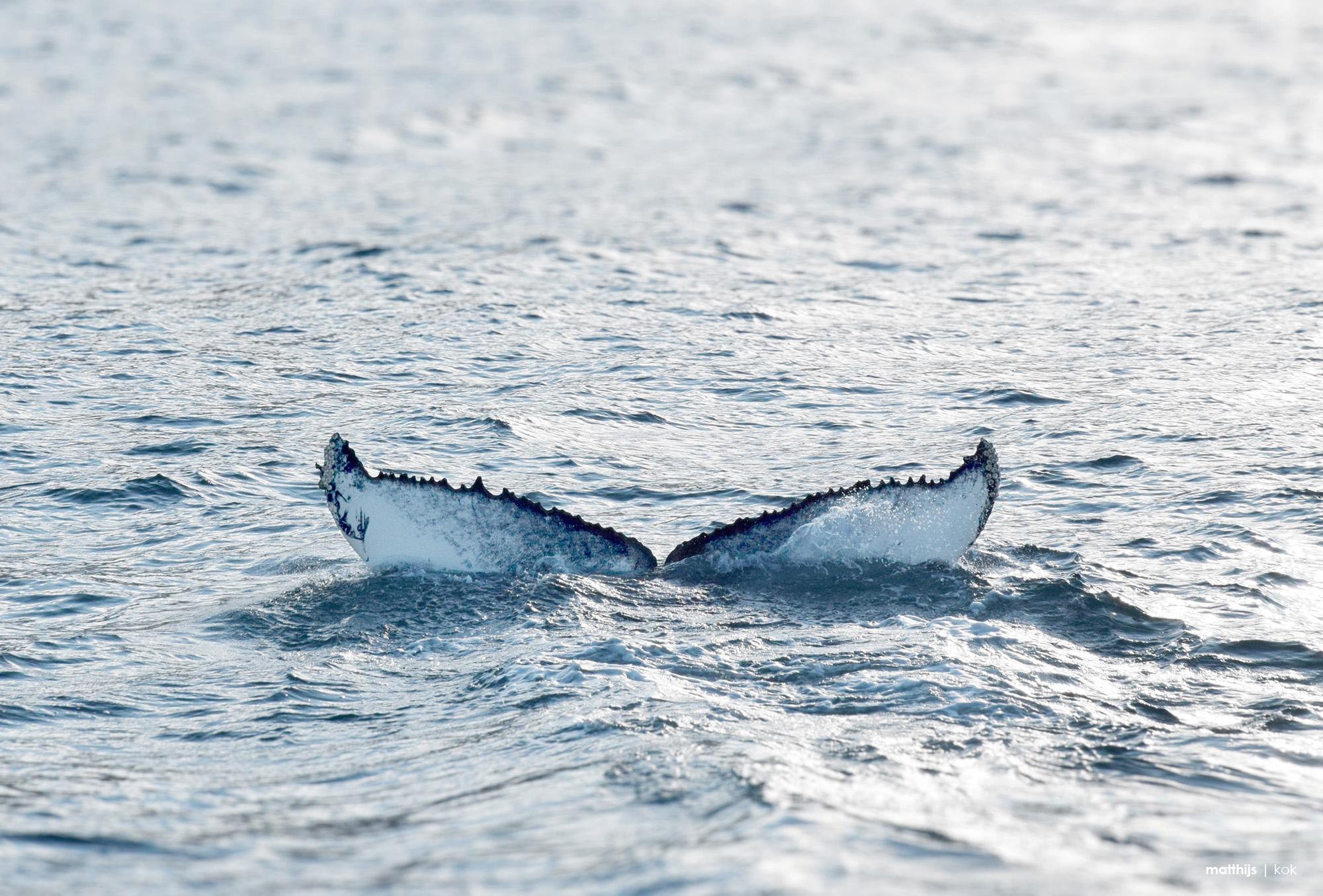 Whale in the Faxaflói Bay, Reykjavik, Iceland | Photo by Matthijs Kok